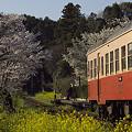 写真: 小湊鉄道の桜 14