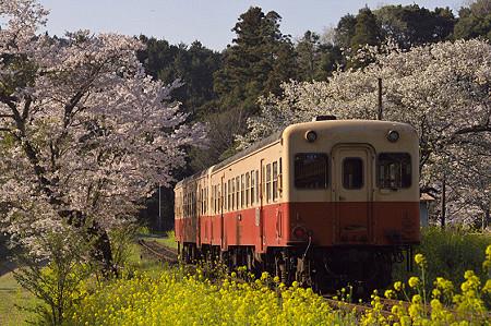 小湊鉄道の桜 15