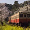 写真: 小湊鉄道の桜 15