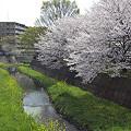 写真: 東戸塚の桜 03