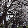 写真: 東戸塚の桜 06