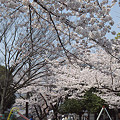 写真: 東戸塚の桜 09