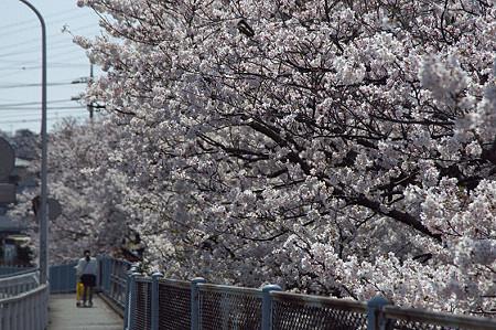 東戸塚の桜 16