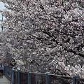 写真: 東戸塚の桜 16