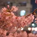 写真: 目黒川・夜桜1