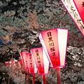 写真: 目黒川・桜まつり