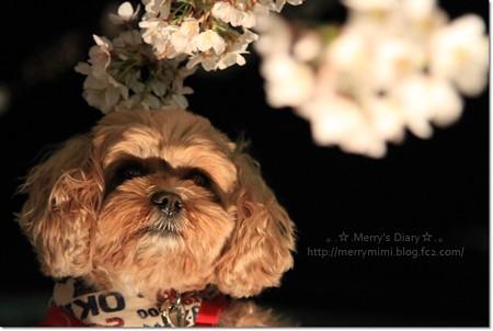 夜桜とパチリ☆