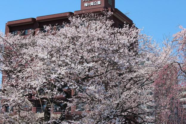 26.4.13榴岡公園の桜