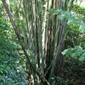 写真: ボルネオの竹は伸び方が違うわー