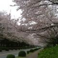 写真: 農林水産省の桜並木(北側)