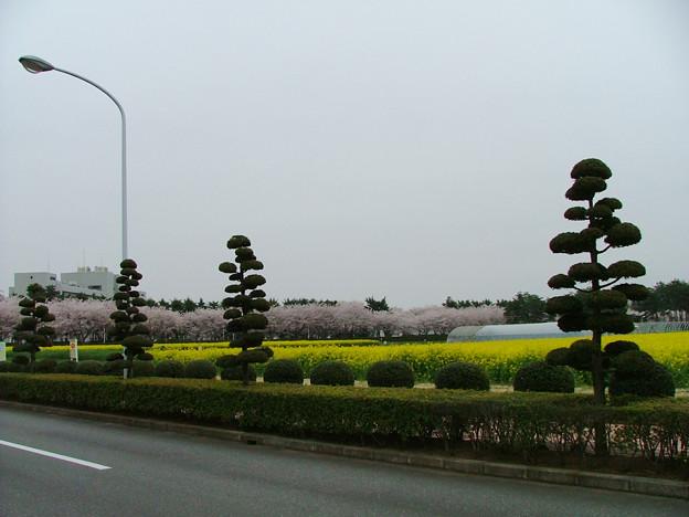 写真: リサーチギャラリーの菜の花畑