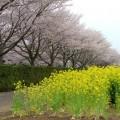 写真: 菜の花畑と桜