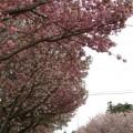 写真: 気象研究所の桜