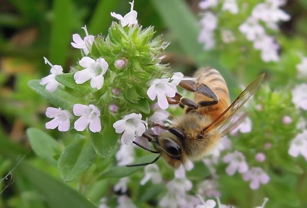 ミツバチとタイム