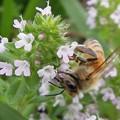 Photos: ミツバチとタイム